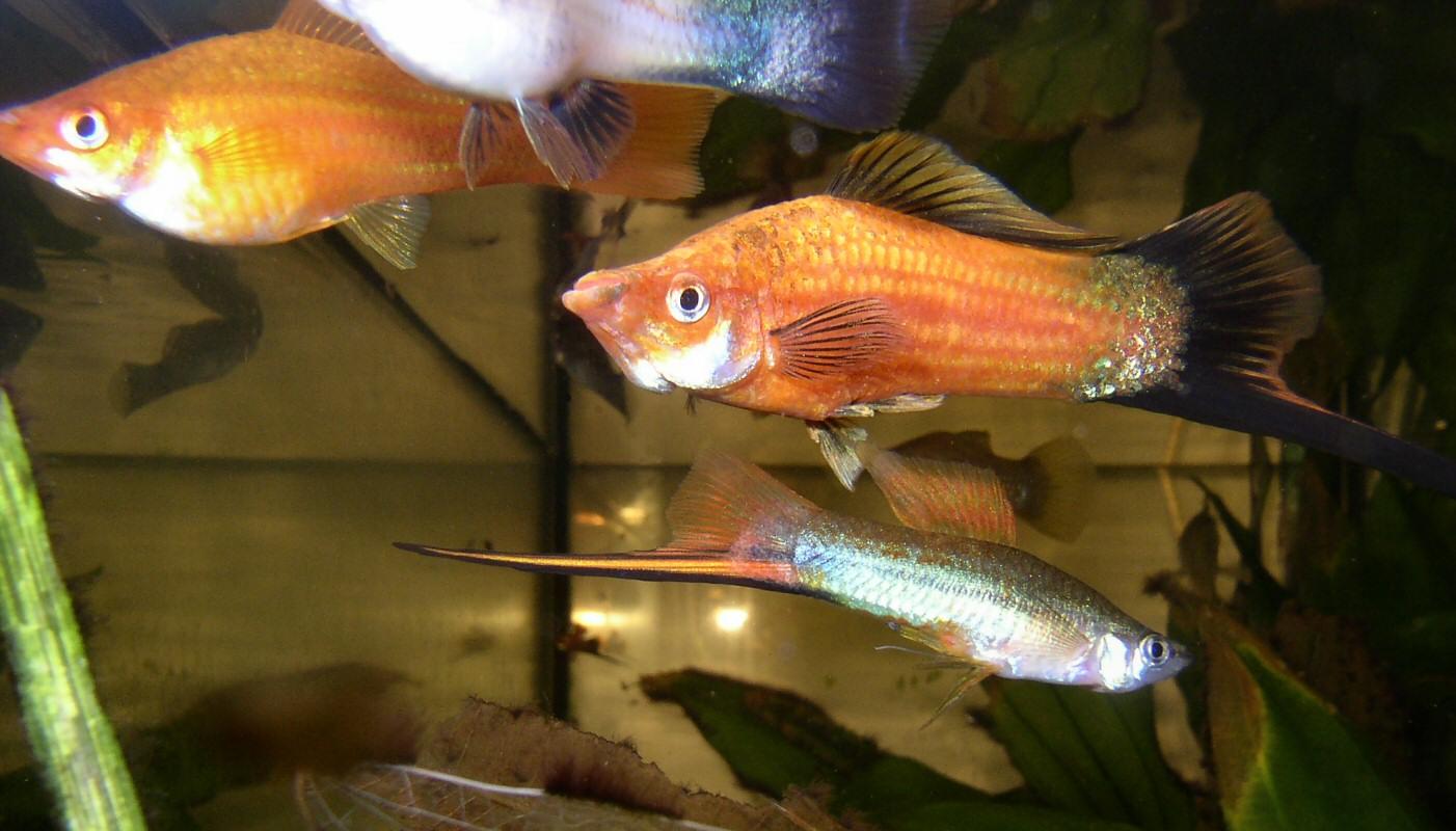 Les 10 meilleurs poissons pour d buter avec un petit for Gros poisson aquarium