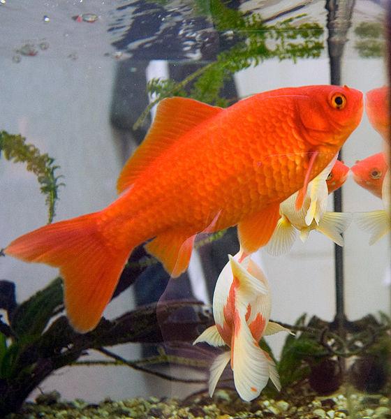 Les 10 meilleurs poissons pour d buter avec un petit for Aquarium poisson rouge simple
